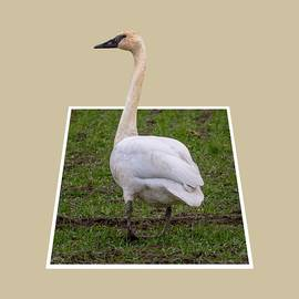 Marv Vandehey - Portrait of a Swan Out of Frame