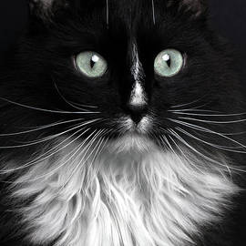 Portrait of Black Cat with White Breast by Sergey Taran