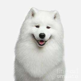 Sergey Taran - Portrait of Samoyed dog on white background