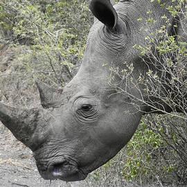 Beth Wolff - Portrait view of a White Rhino