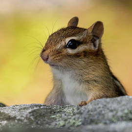 Posing Chipmunk by Betty Pauwels