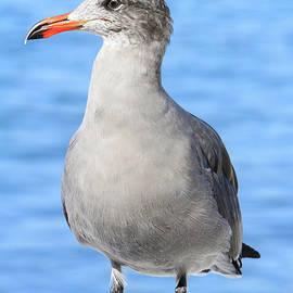 Posing Heermann's Gull by Shoal Hollingsworth
