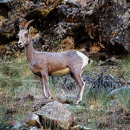 Posing Mountain Sheep by Robert Bales