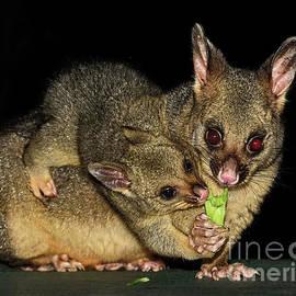 Possums - Mum and Baby by Kaye Menner