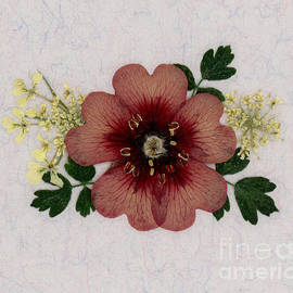 Potentilla And Queen-ann's-lace Pressed Flower Arrangement by Em Witherspoon