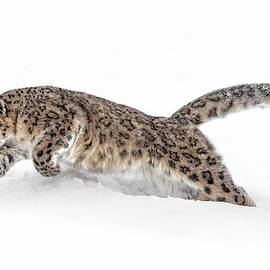 Wes and Dotty Weber - Pouncing Snow Leopard
