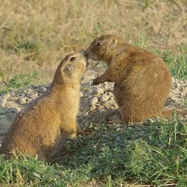 Prairie Dogs Kissing by Jeff Swan