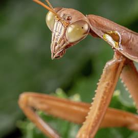 Praying Mantis Closeup by Brian Hale