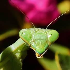 Linda Brody - Praying Mantis Eyes Macro