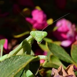 Praying Mantis Macro 2 by Linda Brody