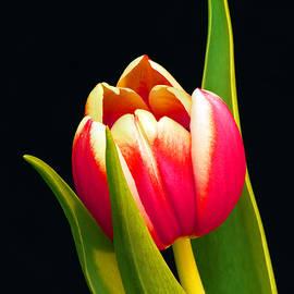 Karen Lewis - Praying Tulip
