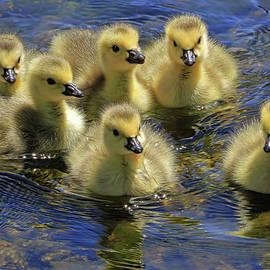 Donna Kennedy - Precious Goslings