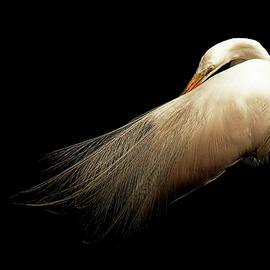 Preening Egret by Stuart Harrison
