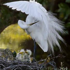 Preening on the nest by Myrna Bradshaw