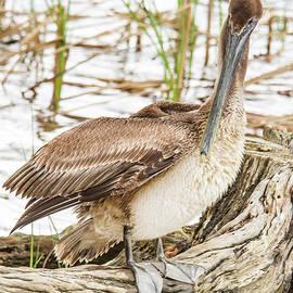 Preening Pelican by Jean Noren