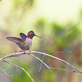 Small hummingbird preparing for flight by Ruth Jolly
