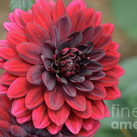 DejaVu Designs - Pretty Blooming Red Dahlia Flower Blossom