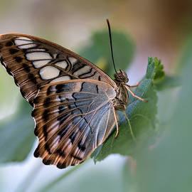 Pretty butterfly resting on the leaf by Jaroslaw Blaminsky