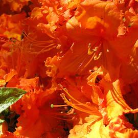 Pretty in Orange - Floral Photography - Orange Rhododenrons by Brooks Garten Hauschild