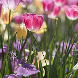 Pretty In Pink Tulips by Jeanne May