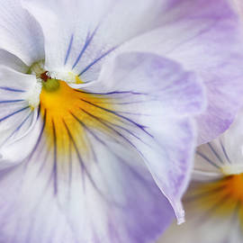 Pretty Pansy Flowers by Jennie Marie Schell