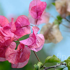 Kaye Menner - Pretty Pink Bougainvillea by Kaye Menner