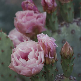 Pretty pink Cactus blooms by Ruth Jolly