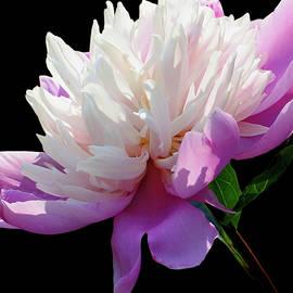 Carol F Austin - Pretty Pink Peony Flower on Black