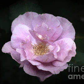 Pretty Pink Rose by Elisabeth Lucas