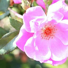 Trina Ansel - Pretty Pink Rose