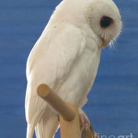 Pretty Pose by Luna The Rescued White Leucistic Eastern Screech Owl  by Barbie Corbett-Newmin
