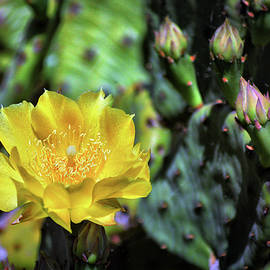 Prickly Pear Cactus Flower On Assateague Island by Assateague Pony Photography
