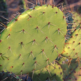 Soli Deo Gloria Wilderness And Wildlife Photography - Prickly Pear Cactus