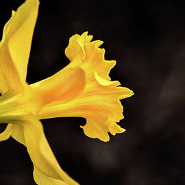 Don Johnson - Profile of a Daffodil