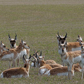 Pronghorns on Alert by Kae Cheatham