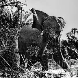 Kay Brewer - Protective Mama Elephant in Black and White