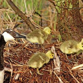 Proud Mama Goose by Debbie Oppermann