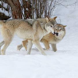 Steve McKinzie - Prowling Wolves