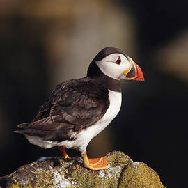 Puffin on rock by Grant Glendinning