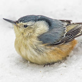Puffy Nuthatch by Dave  by Photography by Phos3 Kathryn Parent and Dave Paddick