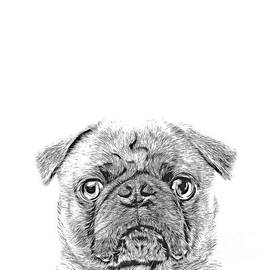 Pug Dog Sketch by Edward Fielding