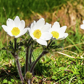 Paul MAURICE - Pulsatile Anemones from French Alps