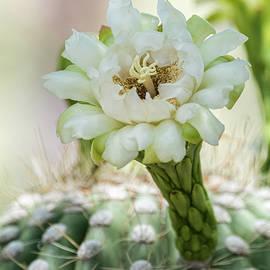Saija Lehtonen - Pure Beauty of the Saguaro