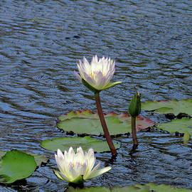 Rosalie Scanlon - Pure Cream Water Lilies