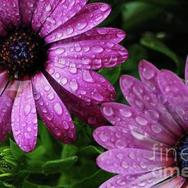 Nancy Mueller - Purple African Daisies