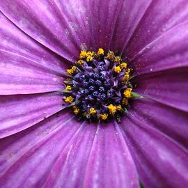Mary Halpin - Purple African Daisy