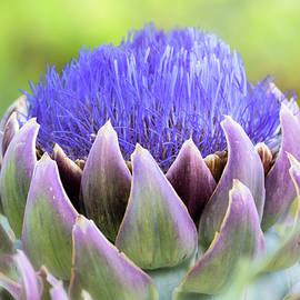 Purple Artichoke Flower  by Saija Lehtonen