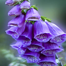 Carol F Austin - Purple Bell Flowers Foxglove Flowering Stalk
