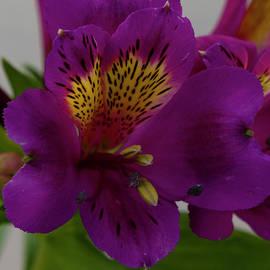 Dennis Reagan - Purple Bloom