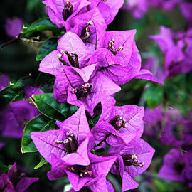 Robert Bales - Purple Bougainvillea